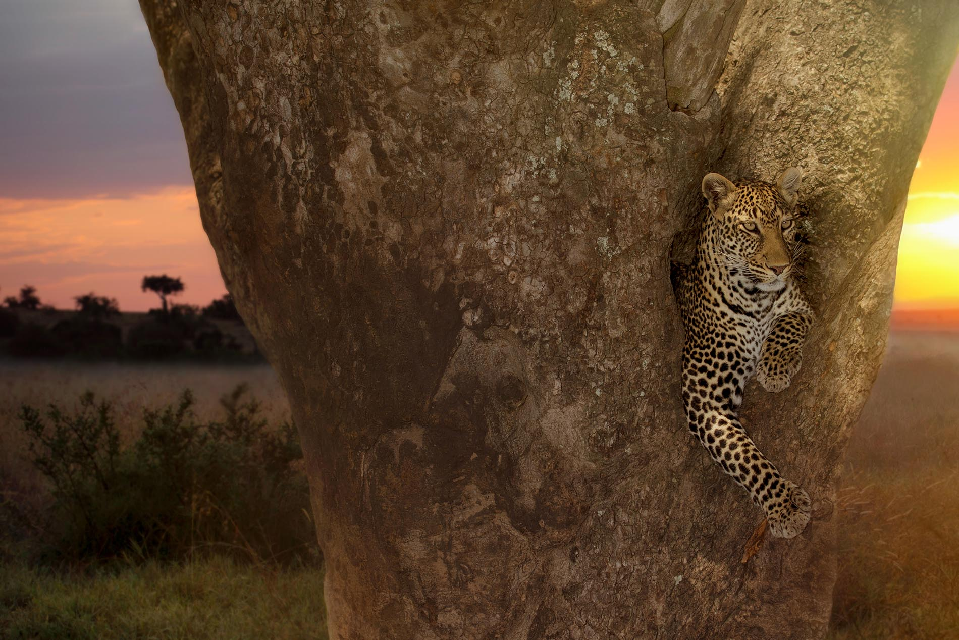 The most beautiful leopard on earth